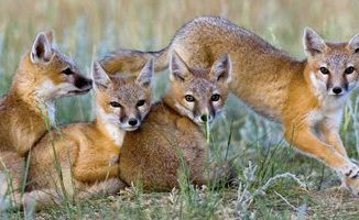 Swift-foxe-family